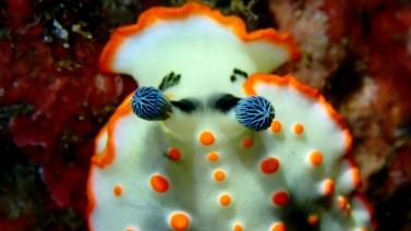 ハナオトメウミウシ1