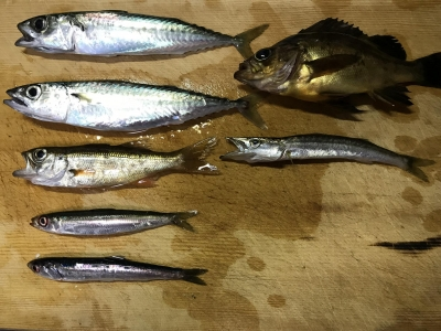 2019年6月29日 釣れた魚種