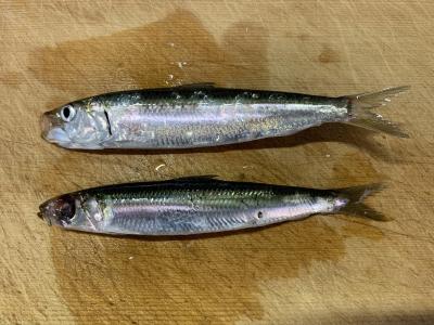 2019年9月1日 釣れた魚種