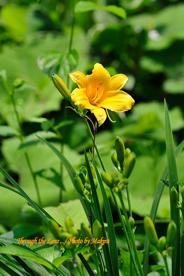 四季咲きヘメロカリス1