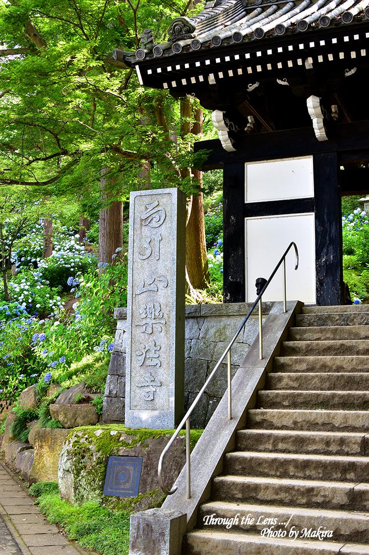 薬井門(黒門)と紫陽花56D1