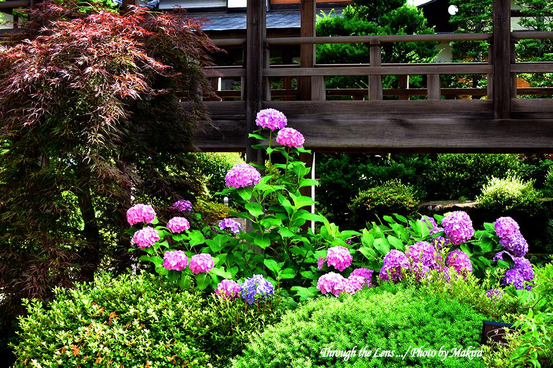 境内の紫陽花56D4