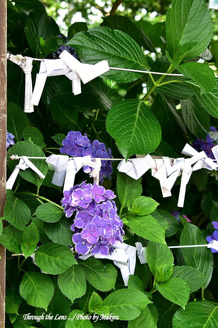 境内の紫陽花56D5