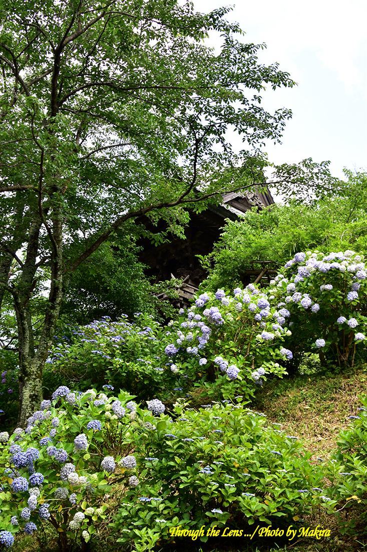 境内の紫陽花56D10