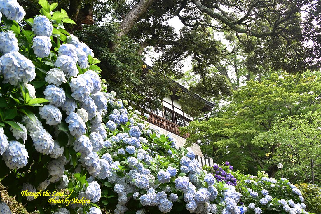 境内の紫陽花56D12
