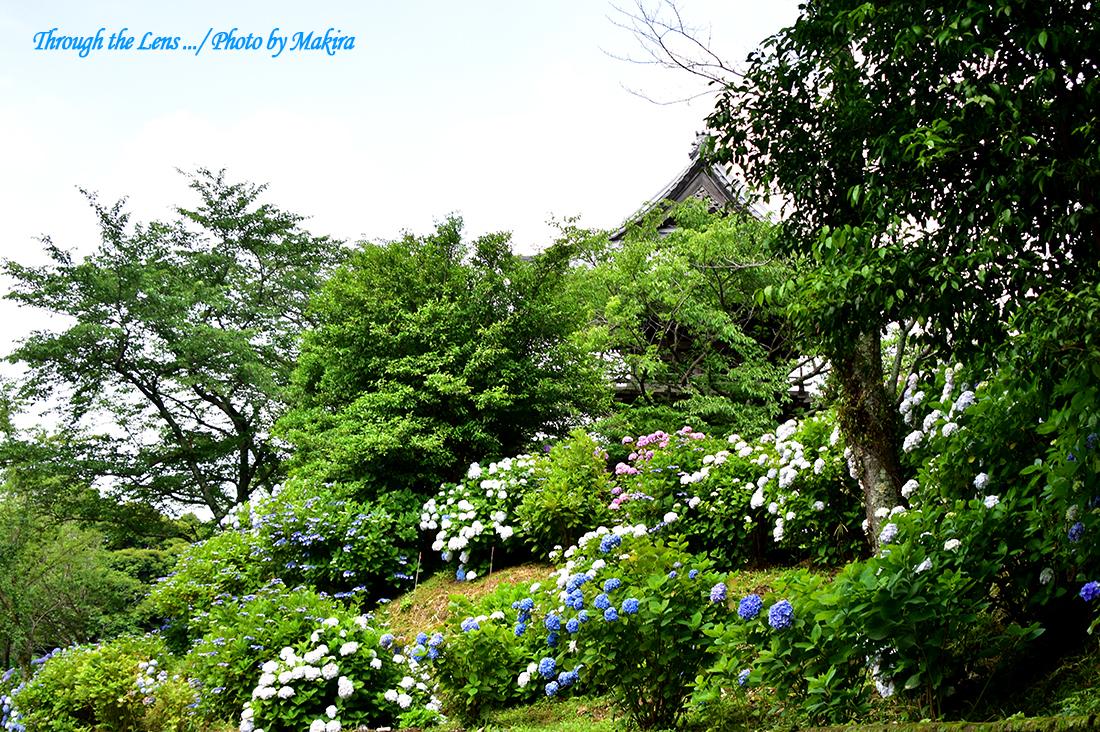 境内の紫陽花56D13