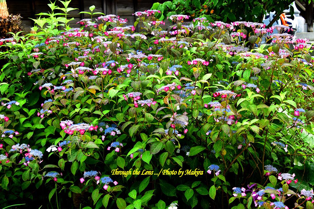 境内の紫陽花56D14