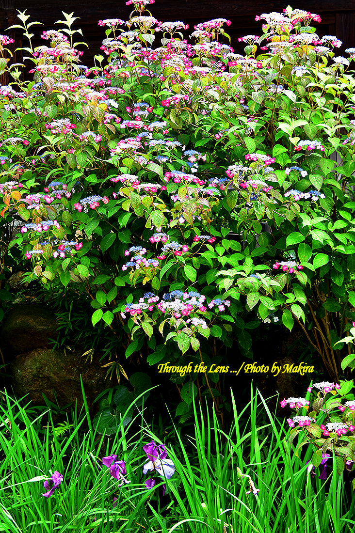 境内の紫陽花56D15