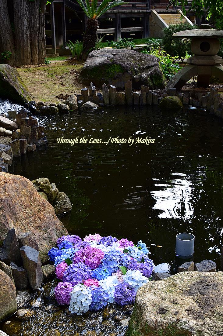 池と紫陽花56D1