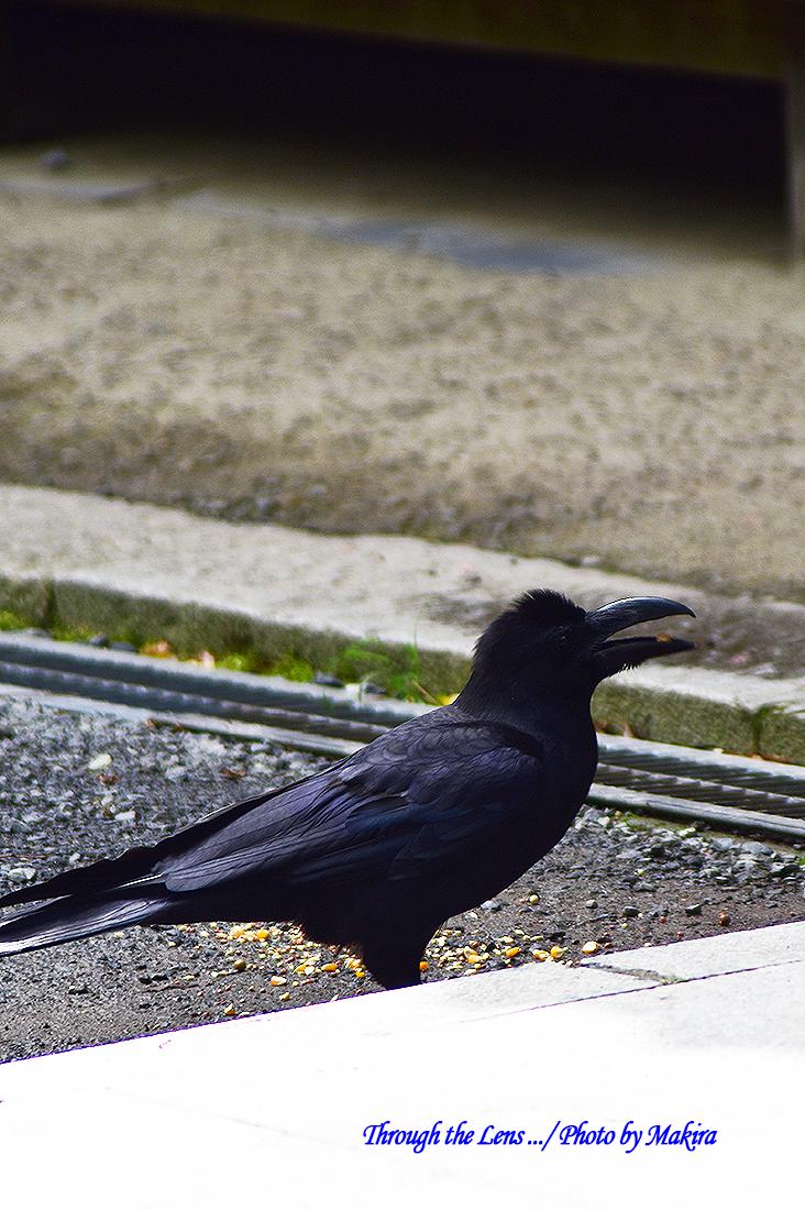 境内の鳥たち56D8