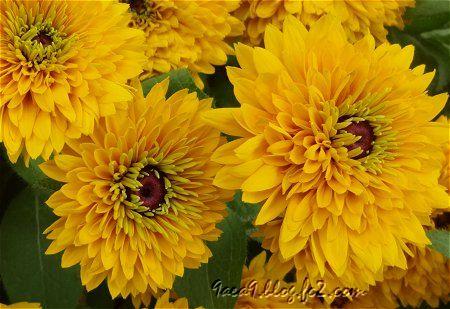 今日のお花は 黄色 1