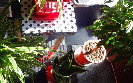 つゆはいつ開けるのかな 植物 3