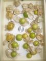 R1.7.13食用ホオズキ(キャンディーランタン)収穫①@IMG_8706