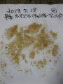 R1.7.18早生食用ホオズキ種取り@IMG_8744