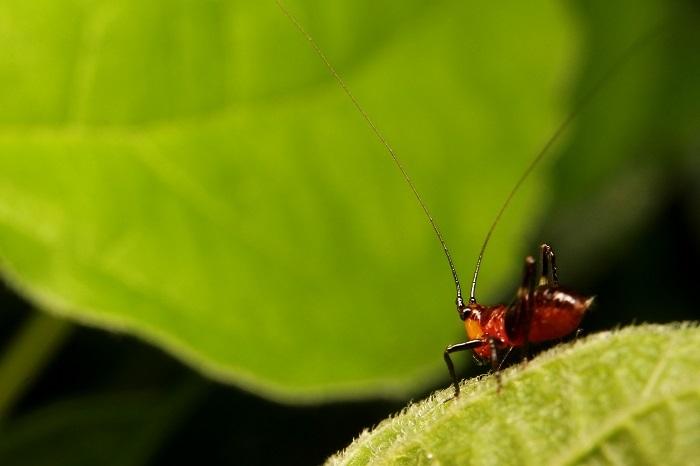 ササキリ幼虫s