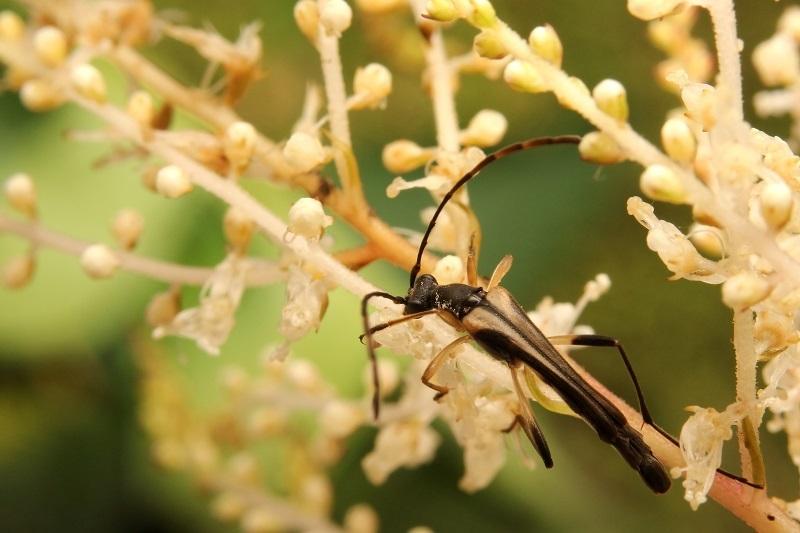 ハコネホソハナカミキリs