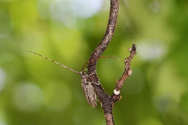 ニセビロウドカミキリs