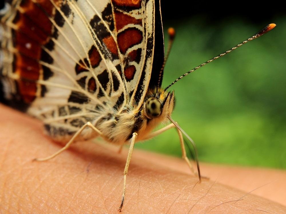 サカハチチョウs