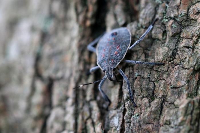 キマダラカメムシ幼虫s