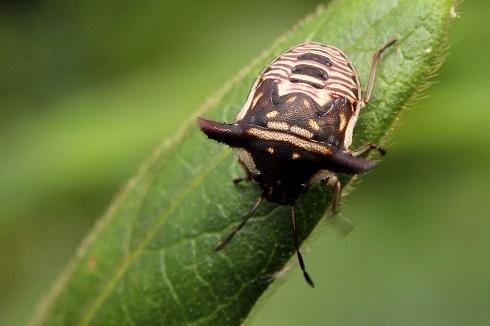 ウシカメ幼虫3s