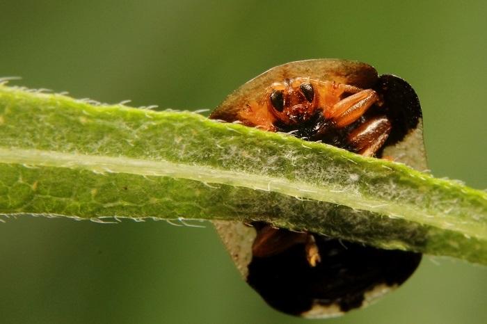 コガタカメノコハムシs