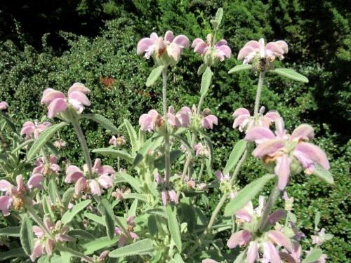 フロミス italica1