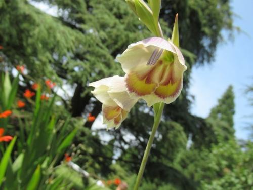 Gladiolus papilio3