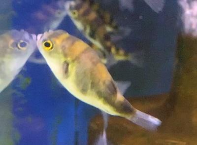 南米淡水フグ0714