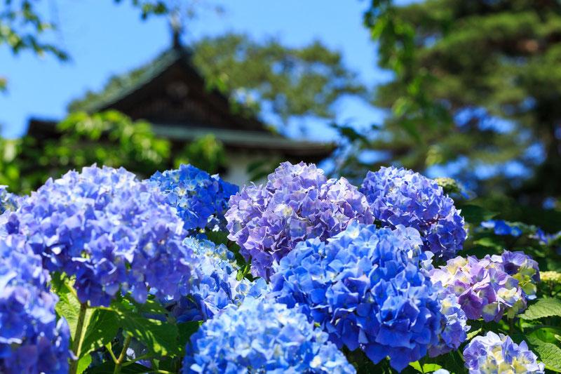 茶屋ヶ坂公園の紫陽花-あじさい