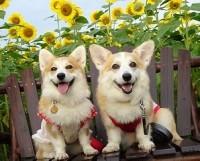 にほんブログ村 犬ブログへ コーギー