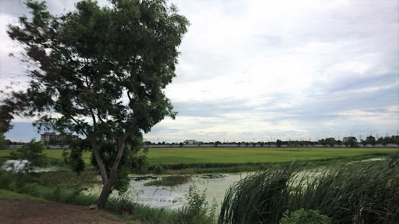 Rice fields near our residence (2)