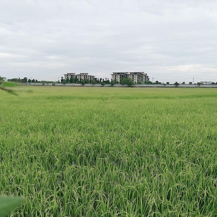 Rice fields near our residence (4)