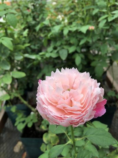 ブログ0831小春