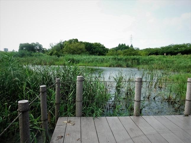 19.8.4 散歩鴨川遊水池トンボ (79)