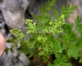 Cystopteris fragilis2