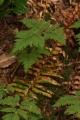 Gymnocarpium_dryopteris_0318[1]