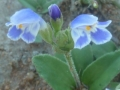 Craterostigma_plantagineum,_blomme,_Borakalalo-suid,_a[3]