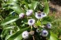 Globularia_amygdalifolia.jpg