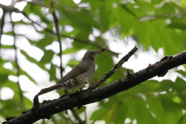 ヒヨドリ_塩嶺小鳥の森