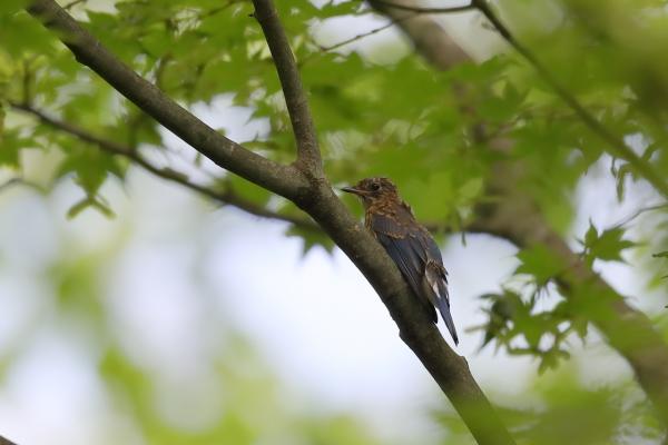 オオルリ幼鳥_塩嶺小鳥の森