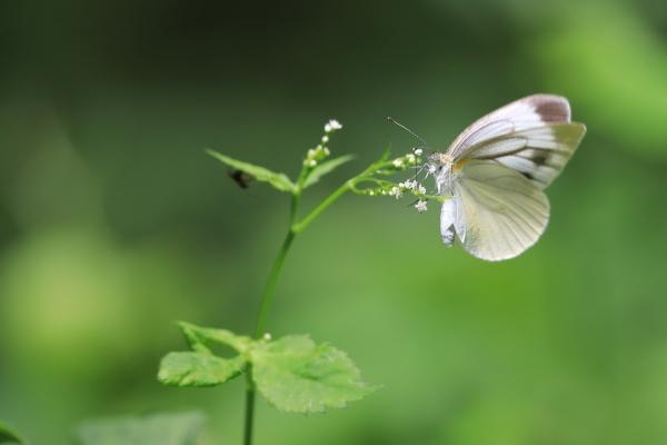 スジグロシロチョウ_塩嶺小鳥の森