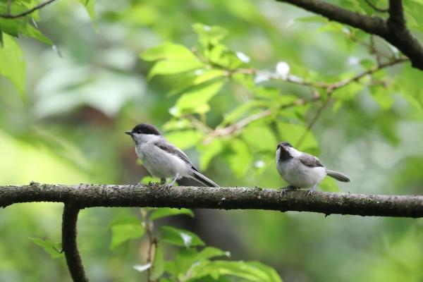 コガラ_塩嶺小鳥の森