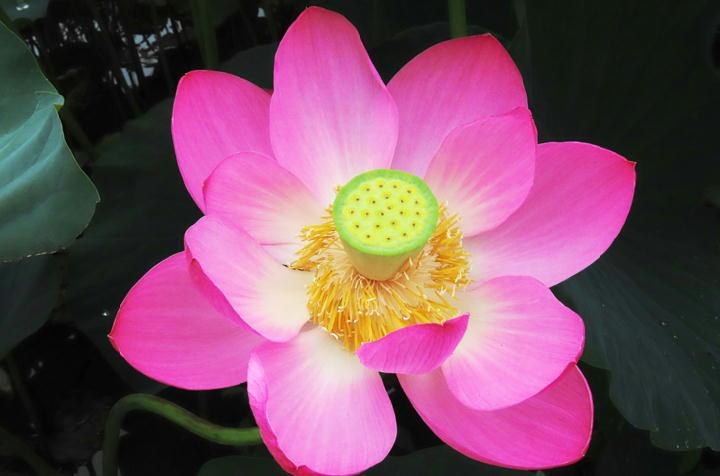 蓮の花-980