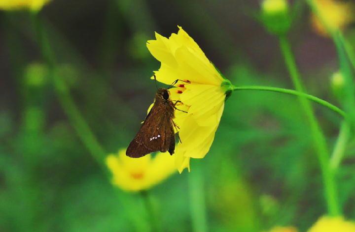 セセリ蝶-215-1