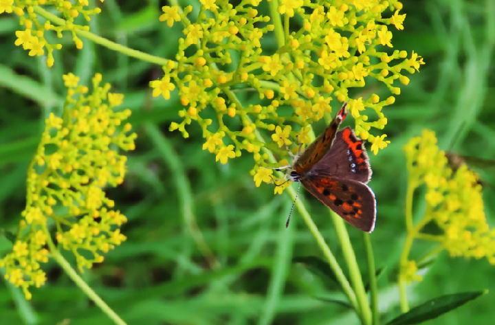 セセリ蝶-224