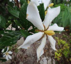 004くちなしの花