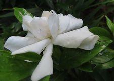 002八重くちなしの花