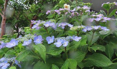008紫陽花