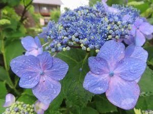 004紫陽花