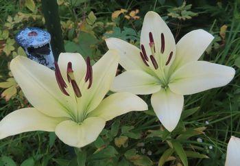 002百合の花